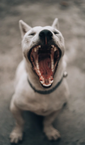 A white dog with his mouth open